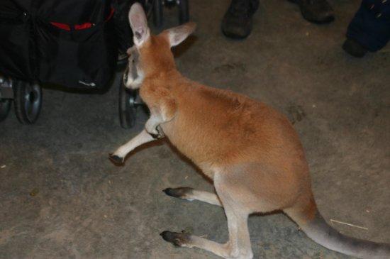 Centre d'observation de la Faune de Falardeau : Bébé kangourou de 4 mois, presque aussi gros que celui de 11 mois