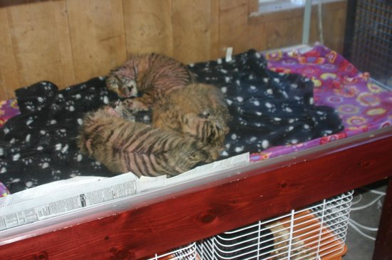 Centre d'observation de la Faune de Falardeau : Les trois tigreaux rejetés par une jeune maman