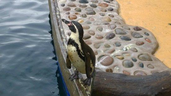 St Andrews Aquarium: Penguin (Judy I think!)