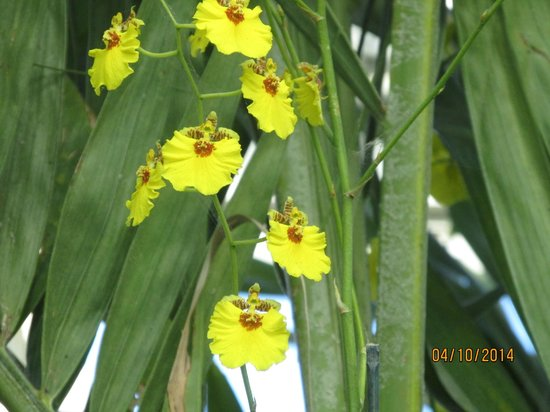 New York Botanical Garden : The Dancing Lady orchids