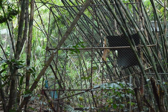 Gibbon Rehabilitation Project : una gabbia col gibbone