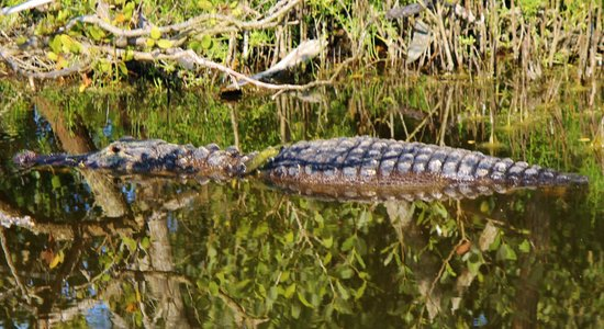 Ritch Grissom Memorial Wetlands: Papa gator nearly the young