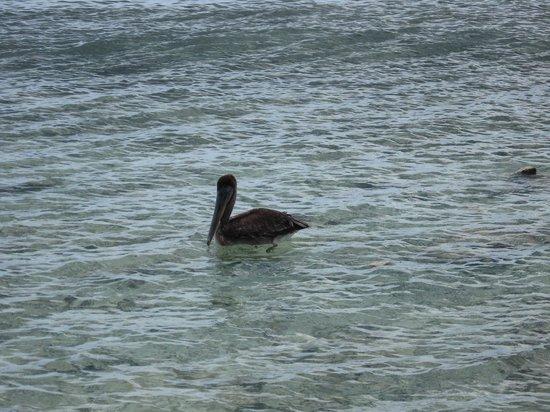 Booby Cay Island: pellicano di booby cay