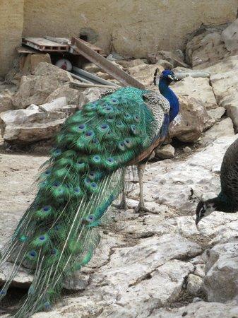 Isla de Benidorm (L'illa de Benidorm): peacocks