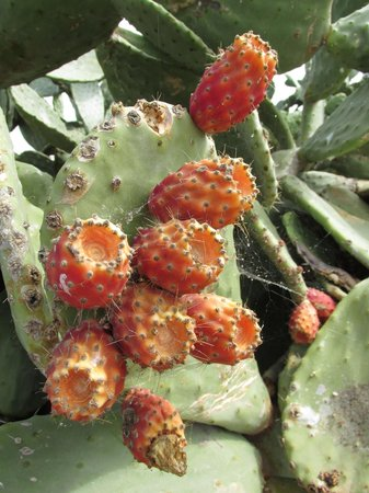 Benidorm Island: the island cactus