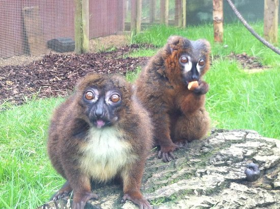 Twycross Zoo : Lemurs
