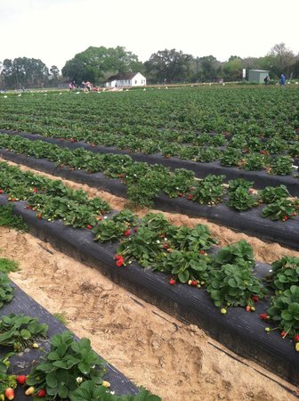 Alvin, TX: Strawberry Fields
