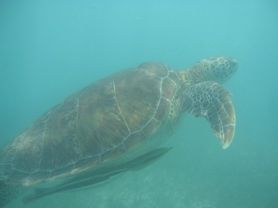 Edventure Tours: Sea Turtle at Akumal