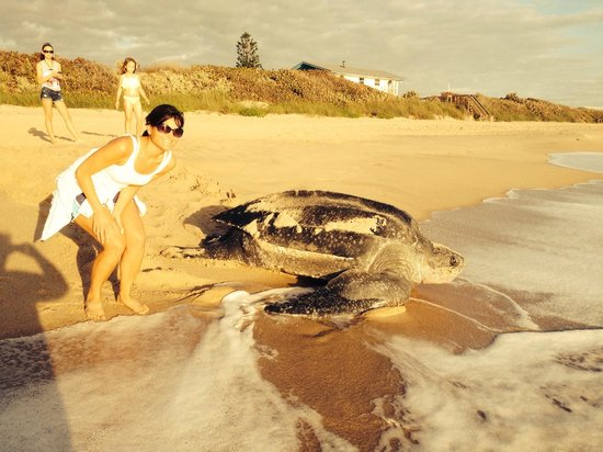 Seashell Suites Resort : Rare sighting of a leatherback!