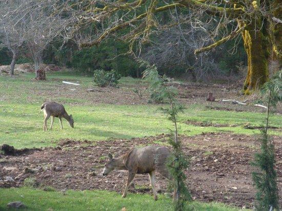 All Seasons Roost: deer in the front yard