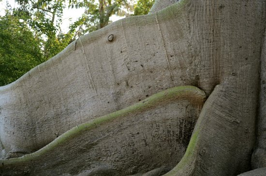 Mosquito Pier : CLOSEUP OF CEIBA TREE ROOTS ABOVE GROUND!