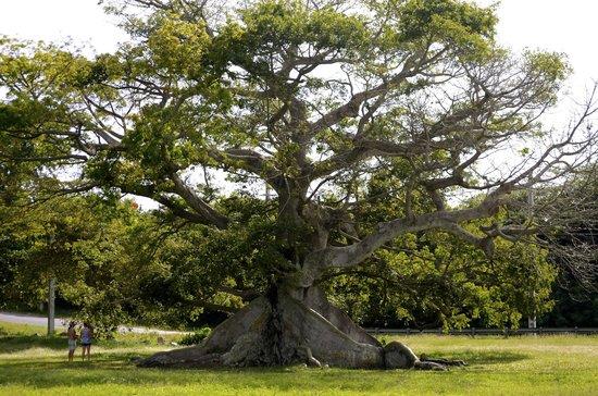 Mosquito Pier : 300 YEAR OLD CEIBA TREE