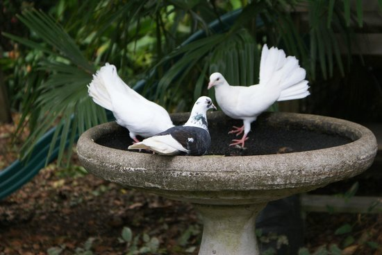 Katikati Bird Gardens : The white doves are gorgeous