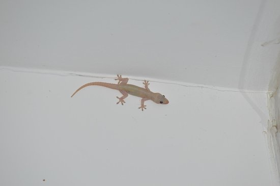 Hotel Bocas del Mar: Geckos everywhere!