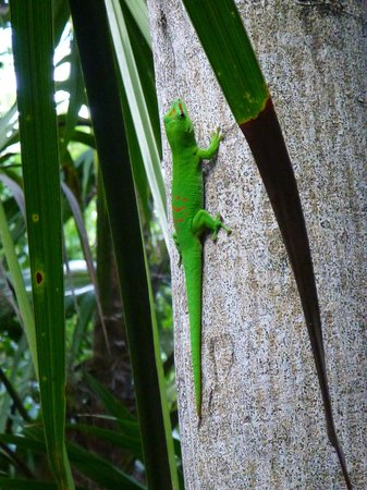 Curry Hammock State Park: Giant Day Gecko