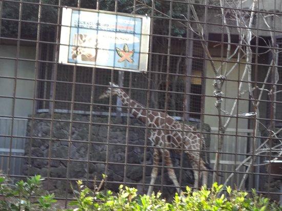 Ueno Zoo: キリン
