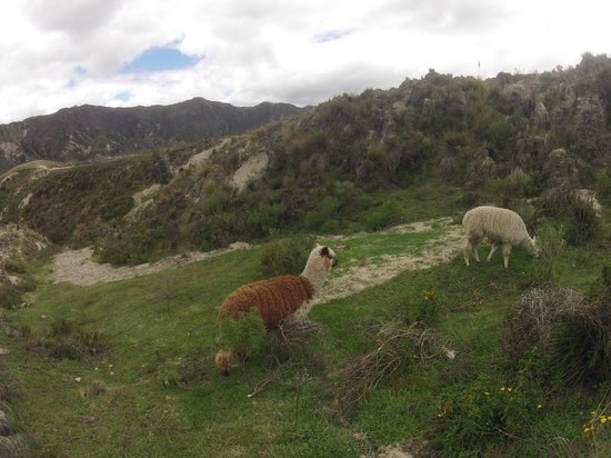 Laguna Quilotoa: Альпаки по пути к лагуне