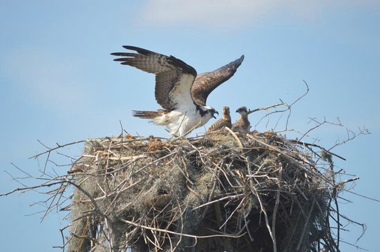 Florida Cracker Airboat Rides & Guide Service: Osprey with her young!