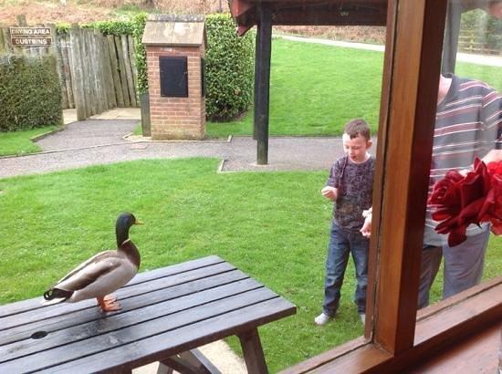 Captain Cook's Haven: ducks breakfast at No 16