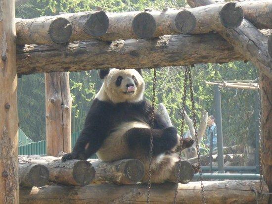 Beijing Zoo: Панда играет