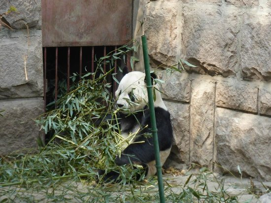 Beijing Zoo: Панда есть
