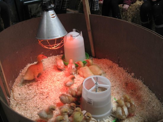 Gaston Farm: Chick & Duckling Handling