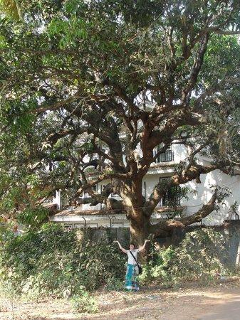 Манговое дерево.