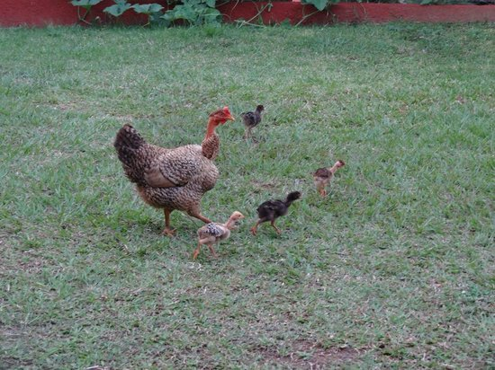 Villa El Habano: Les poules qui se balladent dans le jardin
