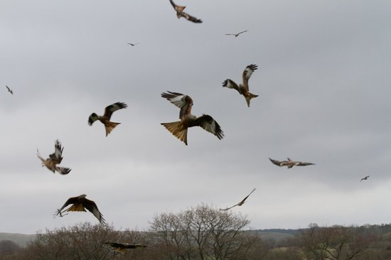 Red Kite Feeding Station: Acrobatics from the Red Kites