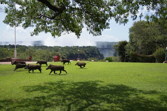 The Victoria Falls Hotel: Wildlife roaming on the lawns - view from the terrace