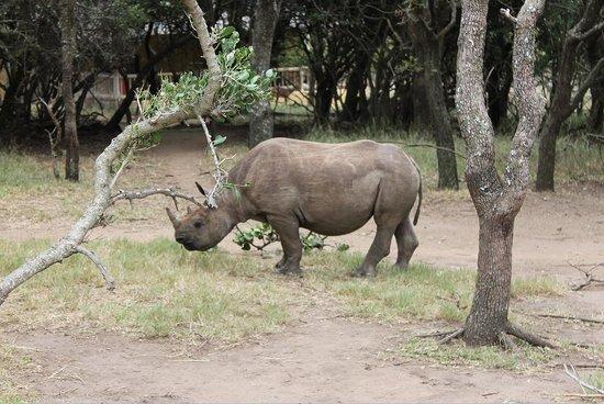 Moholoholo Wildlife Rehab Centre: Rhino