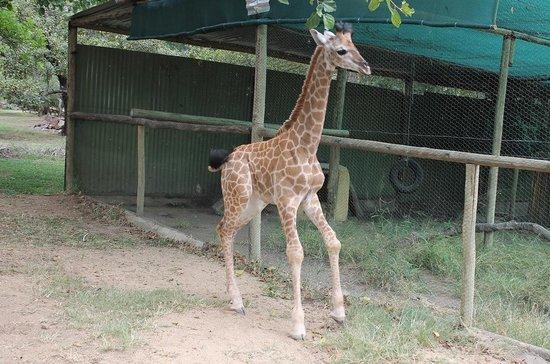 Moholoholo Wildlife Rehab Centre: Giraffe