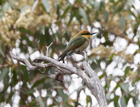 Melbourne Birding Tours: Rainbow bee-eater