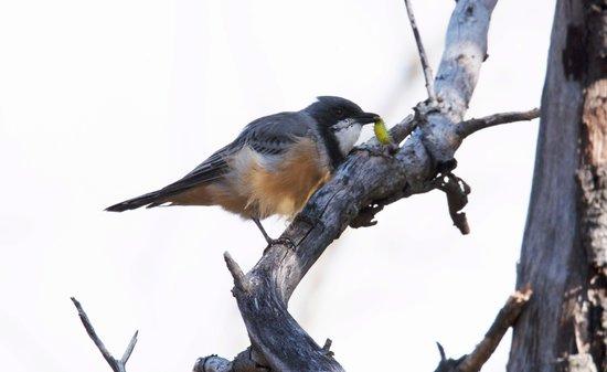 Melbourne Birding Tours: Rufous Whistler