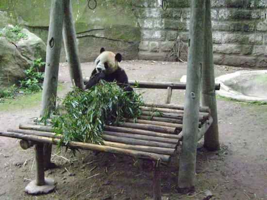 Chongqing Zoo (Chongqing Dongwuyuan): Panda lunchtime at Chongqing Zoo