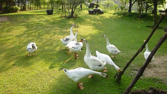 Watermill Resort: The hotel Geese