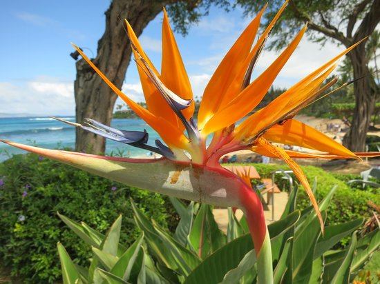 Napili Surf Beach Resort : Gorgeous Flowers all over the property