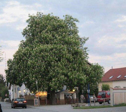 Il Casale: tree outside restaurant