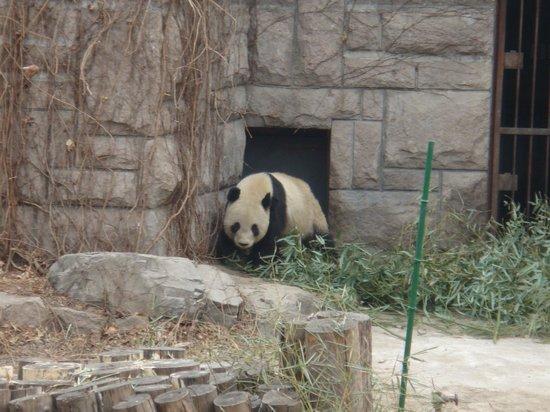 Beijing Zoo: Панда в открытом террариуме