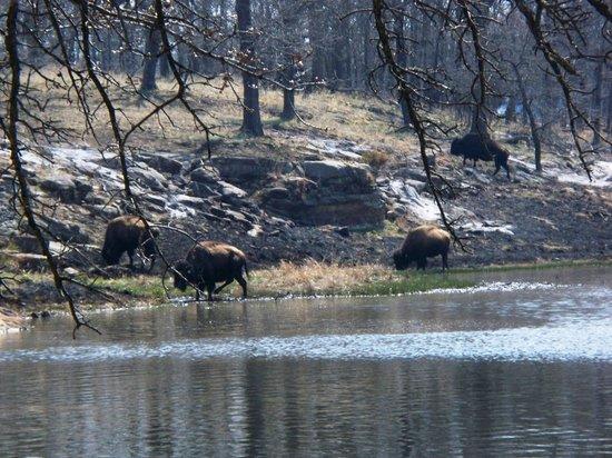 Woolaroc Museum & Wildlife Preserve: buffalo at the lake