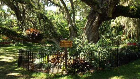 Confederate Oak - Picture of Dunlawton Sugar Mill Gardens, Port ...