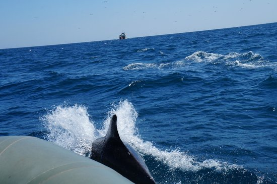 Cape Cruiser: Delfiner nära båten