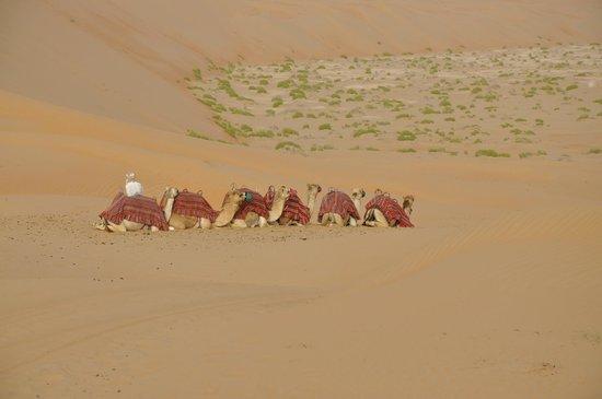 Qasr Al Sarab Desert Resort by Anantara: Die Kamele Warten ...