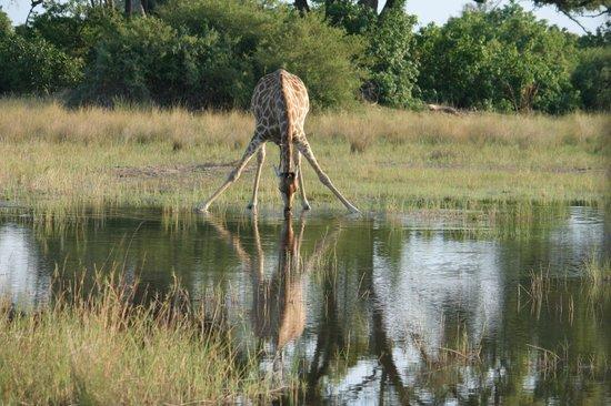 Wilderness Safaris Kings Pool Camp: Long drink of water