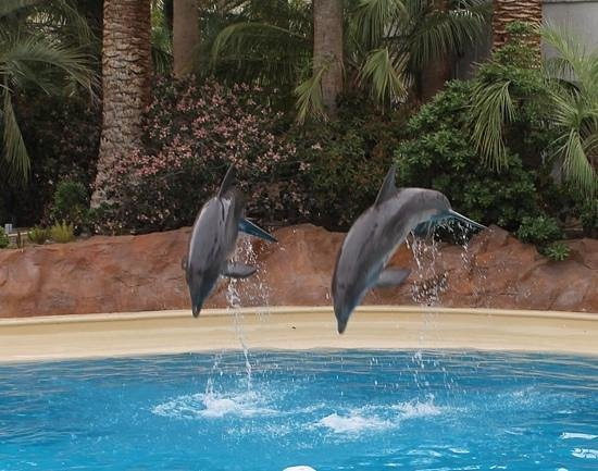 Dolphin Show Picture Of Siegfried Roy 39 S Secret Garden And Dolphin Habitat Las Vegas