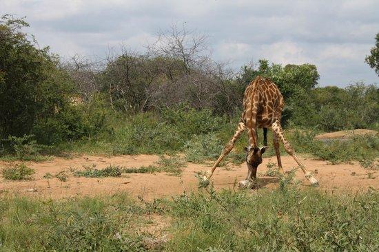 Itaga Luxury Private Game Lodge: Itaga  - Giraffes