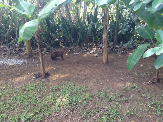 Mateo's B&B: An agouti in the front yard