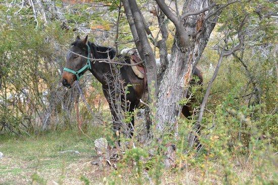 Cabalgata del Glaciar: Uno de los caballos