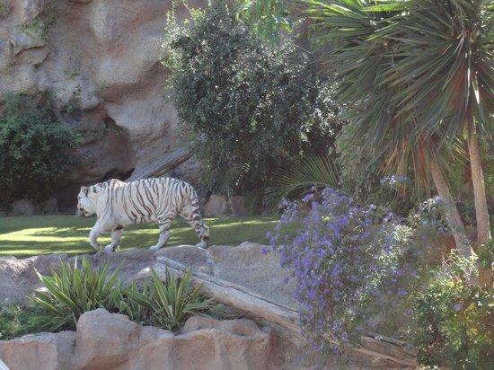 Loro Parque: Тигр
