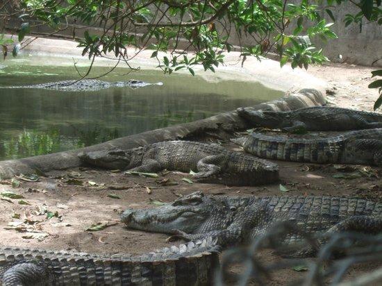 Samui Crocodile Farm : Krokodile